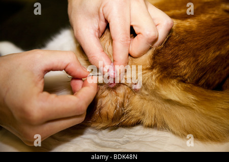 Cat being Castrated under General Anaesthesia - Stock Image