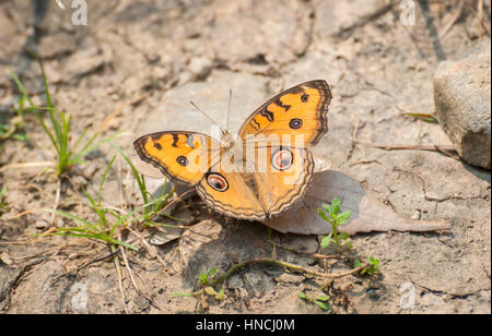 Peacock Pansy butterfly (Junonia Almana). The Peacock Pansy is common to South and East Asia. - Stock Image