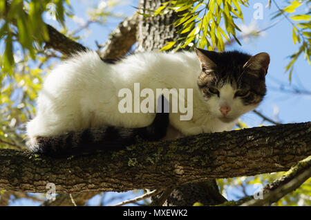 Stray white and grey cat ran up a tree and waits on a branch for the threat to go away. Looking suspicious. - Stock Image