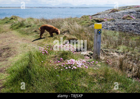 Sea Pink or Thrift flowers and Cocker Spaniel dog by footpath sign on coastal path from Borthwen to Silver Bay, Rhoscolyn, Isle of Anglesey, Wales, UK - Stock Image