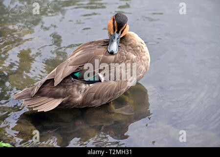 A Philippine Duck (Anas luzonica) showing the beautiful blue speculum feathers by a lake in Southern England - Stock Image