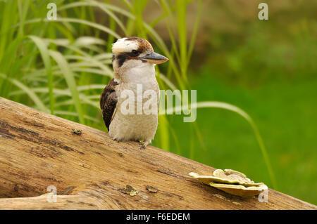 Laughing Kookaburra, (Dacelo novaeguineae), South Australia. - Stock Image