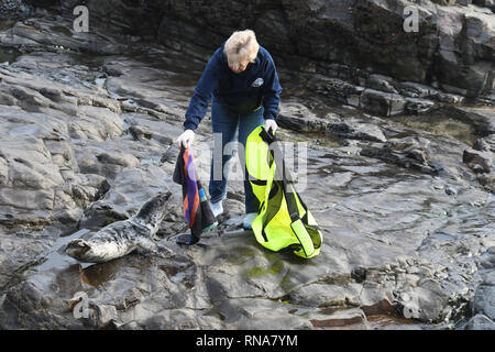 Volunteers trying to catch an injured grey seal stranded on rocks - Stock Image