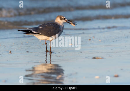 Snowy Egret Takes Step after catching a small fish - Stock Image