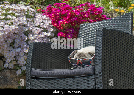 Mousehole, Cornwall, UK. 21st June 2019. UK Weather. Temperatures soared in Cornwall today, on the longest day of the  year, with Titan the Pug out in his back garden. Credit Simon Maycock / Alamy Live News - Stock Image
