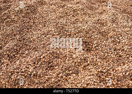 Piles of hazelnut (filbert) shells, used for ground cover at the Oregon Garden in Silverton, Oregon, USA. - Stock Image