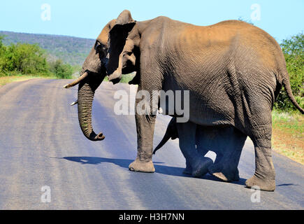 Elephants crossing the road near Satara Rest Camp Kruger Park ,with the baby seeking shade from its mother - Stock Image
