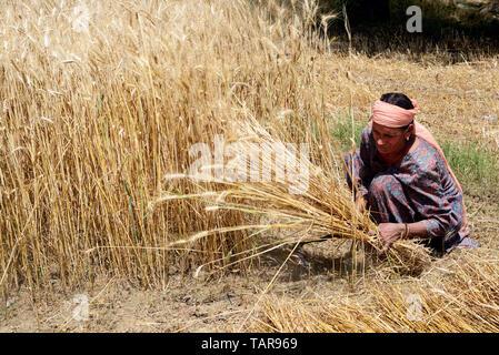 Female farmer harvesting wheat crops in a wheat field - Stock Image