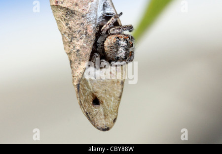 CLOSE UP OF JUMPING SPIDER WRAPPED IN A LEAF BLUE SKY NATURAL BACKGROUND BDA - Stock Image