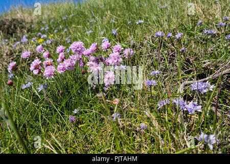 Sea Pinks or Thrift (Armeria maritima) growing with Spring Squill (Scilla verna) flowers in coastal grassland. Isle of Man, Britain - Stock Image