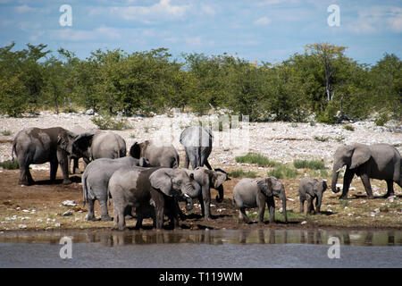 Elephants drink at a waterhole in the Etosha National Park, Namibia. - Stock Image