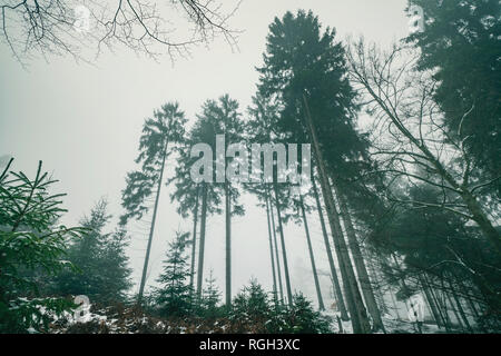 Tall pine trees in a misty landscape in the winter with foggy weather conditions - Stock Image