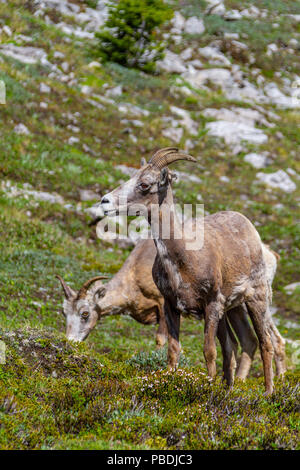Mountain goats grazing on the summit of Parker Ridge in Jasper National Park in the Canadian Rockies. Vertical orientation. - Stock Image