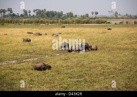 Water buffalo grazing on the floodplains of Tonle Sap lake at Chong Khneas near Siem Reap, Cambodia - Stock Image