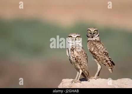 USA, Arizona, Buckeye. A pair of burrowing owls. Credit as: Wendy Kaveney / Jaynes Gallery / DanitaDelimont.com - Stock Image