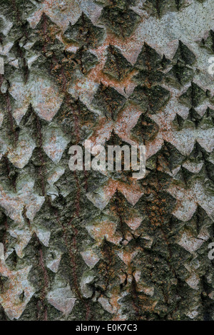 Pigart Polar (Populus x canescens 'Hacrophylla') close-up of bark Yorkshire Arboretum Kew at Castle Howard North Yorkshire UK - Stock Image