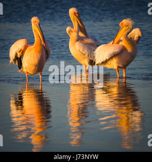 Pelicans are a genus of large water birds that makes up the family Pelecanidae. They are characterized by a long - Stock Image