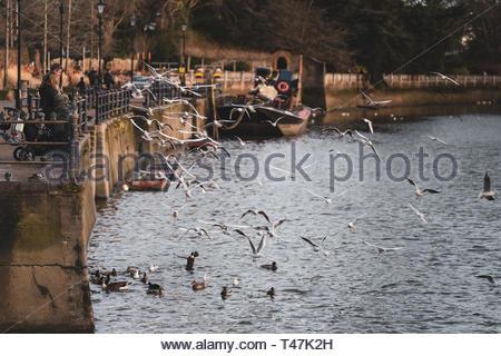 People feeding birds on the Thames in Twickenham, West London, England - Stock Image