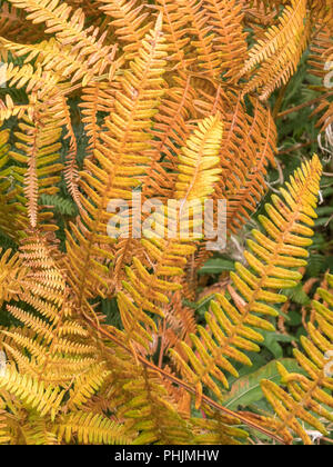 Yellow-Orange autumnal leaves of a fern species. - Stock Image