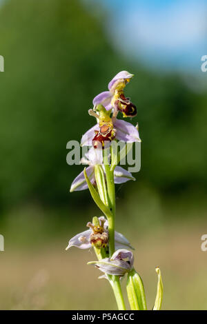Wild Bee Orchid flower - Ophrys Apifera - Stock Image