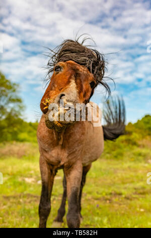 Animal portrait of brown head-on pony whilst shaking its head and flicking its tail on nature reserve. - Stock Image
