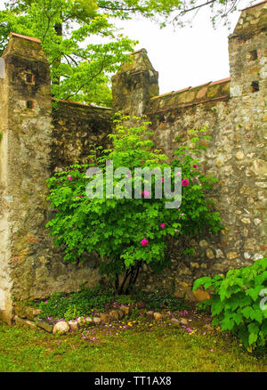 Pink roses growing against an historic stone wall in north east Italy - Stock Image