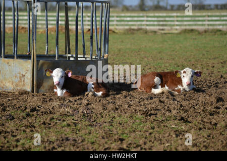 Hereford calf in field near the north Oxfordshire village of Hook Norton - Stock Image