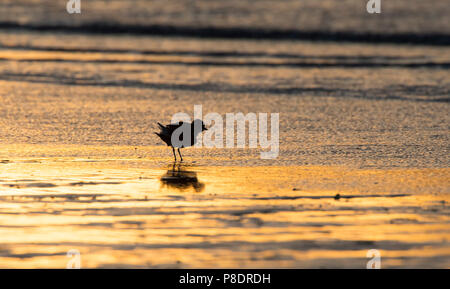 Red-capped Plover (Charadrius ruficapillus) wading on the beach at dawn, Cape York Peninsula, Far North Queensland, FNQ, Australia - Stock Image