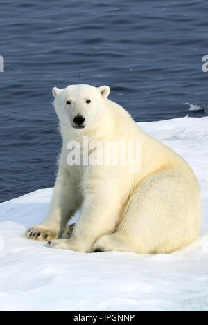 A male Polar Bear (Ursus maritimus) on the ice floe of Baffin Bay, Arctic Circle, getting curious about people on the ship - Stock Image