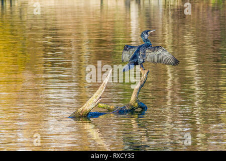 Cormorant Drying Its Wings, River Thames, Henley, UK - Stock Image