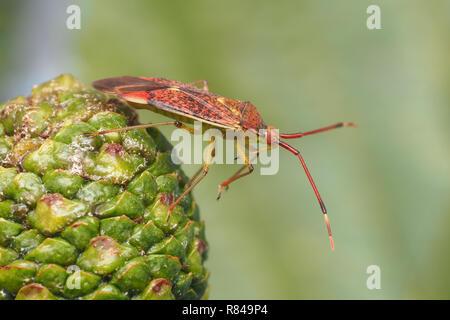 Mirid Bug (Pantilius tunicatus) perched on an alder catkin. Tipperary, Ireland - Stock Image