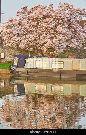 Narrowboat moored in Bancroft Basin at the end of the Stratford upon Avon canal with magnolia tree reflections - Stock Image