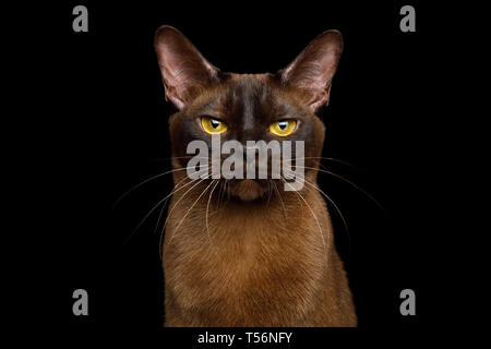 Portrait of Burmese Cat with Sable fur angry Gazing on isolated black background - Stock Image