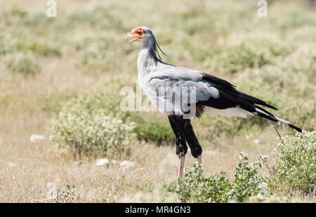 Secretary Bird, Etosha National Park, Namibia. - Stock Image