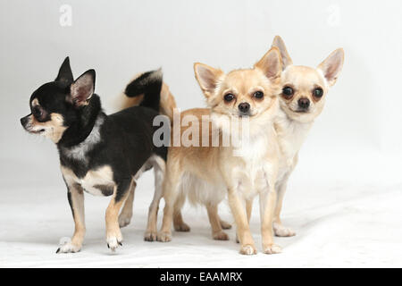 Long haired Chihuahuas on white background - Stock Image