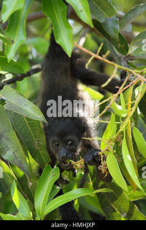 Mantled howler monkey (Alouatta palliata) feeding. Tropical dry forest. Palo Verde National Park, Guanacaste, Costa - Stock Image