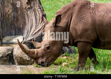 A female white rhinoceros - Stock Image