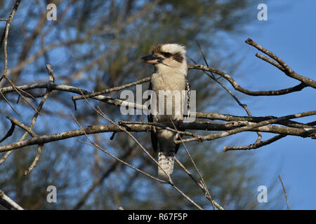 An Australian, Queensland Laughing Kookaburra ( Dacelo novaeguineae ) perched on a tree branch resting - Stock Image