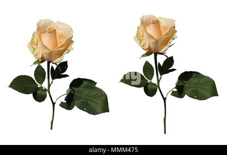 Light yellow / natural white roses with green leaves and stem. There is white background because the roses were isolated - Stock Image