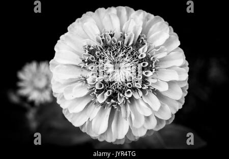 Close up of flower head of Zinnia Elegans, Queen Lime bloom in black and white - Stock Image