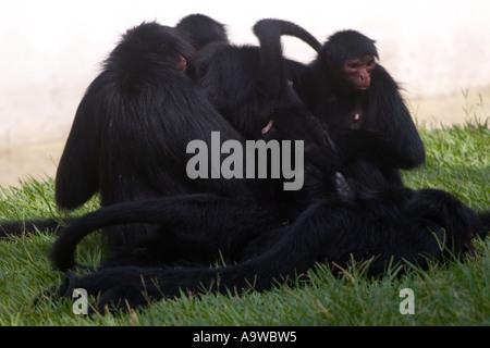 Family of Black Spider Monkeys - Stock Image