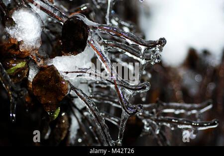 Ice coating on shrub after freezing rainstorm, Mission, British Columbia - Stock Image