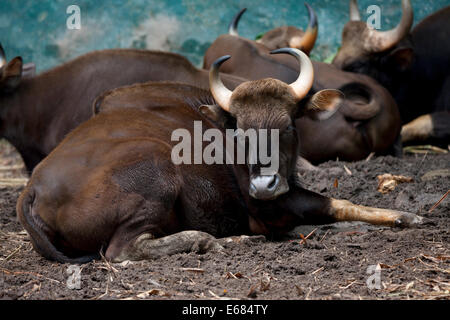 Gaur Indian bison - Stock Image