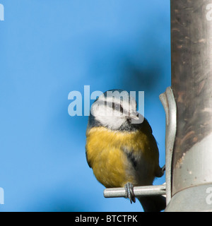 Blue tit perched on feeder in English garden, West Midlands, UK - Stock Image
