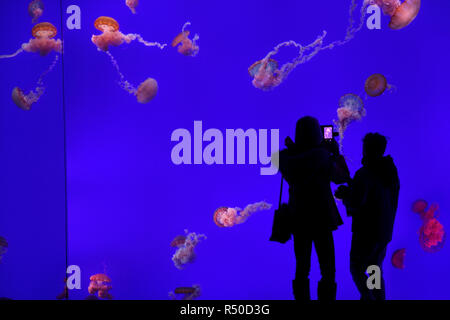 Woman with boy taking a cell phone photo of red Pacific Sea Nettles on blue background at Ripley's Aquarium Toronto - Stock Image