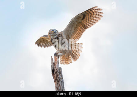 A juvenile female Great Horned Owl, Bubo virginianus, landing atop of a dead tree in Oklahoma, USA. - Stock Image