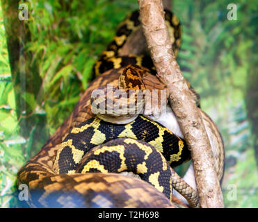 Close-up view of an Amethyst Python (Morelia kinghorni) at Hartley's Crocodile Adventures, Captain Cook Highway, Wangetti, Queensland, Australia. - Stock Image