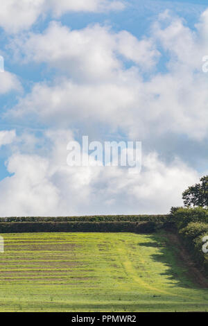 Post-cropped field (UK) with blue skies - several weeks after barley crop harvested and weeds and grasses re-grow. - Stock Image