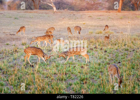 Spotted deer or chital (Axis axis) stags fighting in the breeding season, Satpura Tiger Reserve (Satpura National Park), Madhya Pradesh, central India - Stock Image