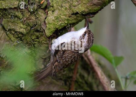 Eurasian Treecreeper (Certhia familiaris) foraging for invertebrates on the bark of a Goat Willow (Salix caprea) tree - Stock Image
